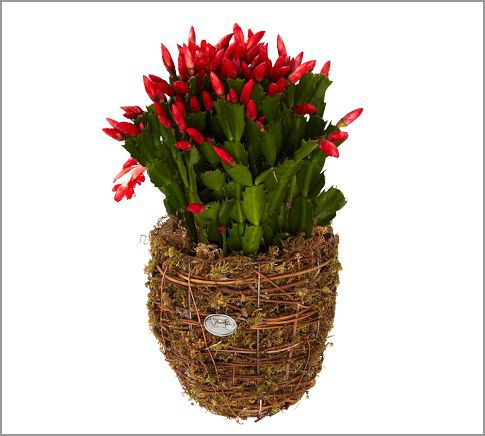 with the holidays on the way its a great time to add some festive color to your home and a christmas cactus is the perfect way to do so - Decorating Cactus For Christmas