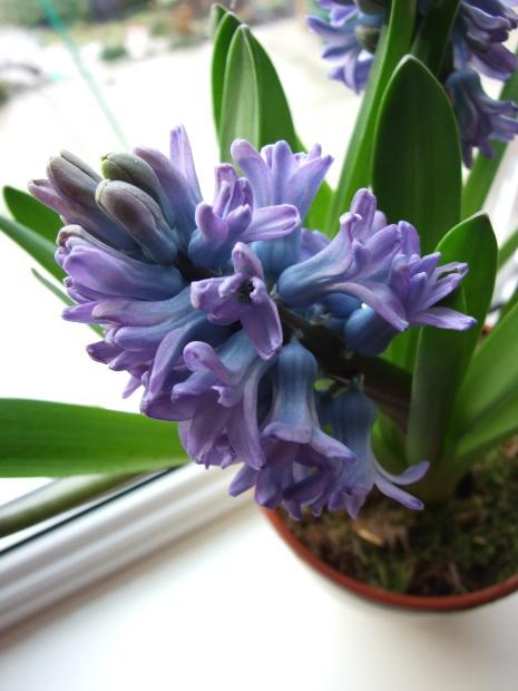 MJN Hyacinth Bloom