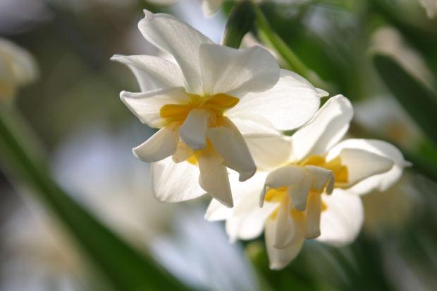 MJN Narcissus Flowering Bulb