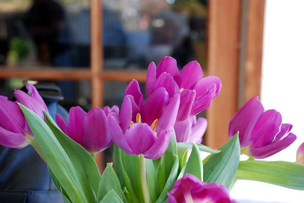 MJN Pink Tulip Blooms